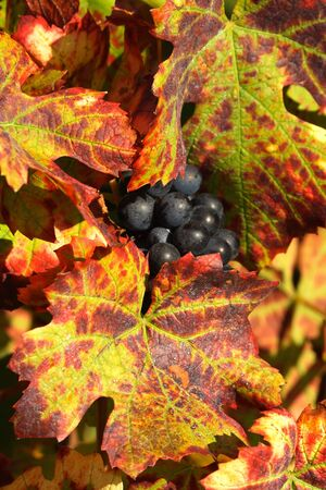 winemaking: Grapes harvested for wine-making in Beaujolais, France