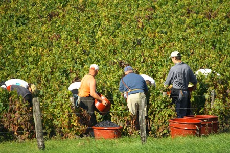 picker: Agricultural workers picking grapes in the vineyard