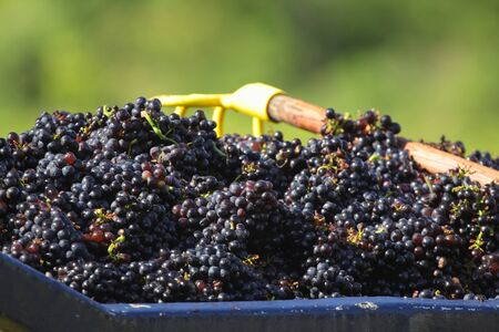 winemaking: Grapes harvested for winemaking in Beaujolais, France Stock Photo