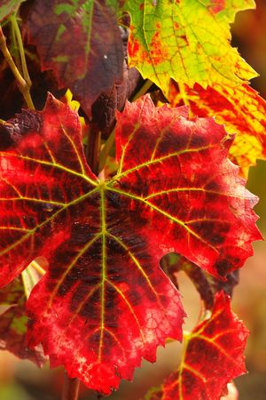 viticulture: Bright red autumn grape leaves in the vineyard