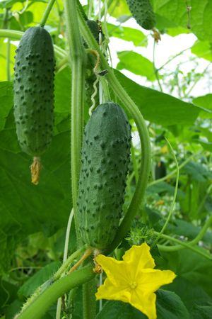 Cucumber growing on a vine in a rural green house photo