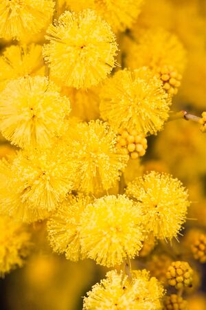 mimosa: Close-up of the mimosa growing in the South of France