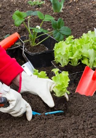 Gardening, planting salad seedlings photo