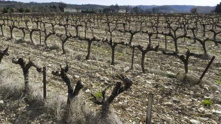 Vineyard  Cotes du Rhone. photo