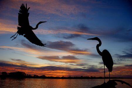 rio amazonas: Gran silueta de garzas blanca, puesta de sol de r�o Amazonas.