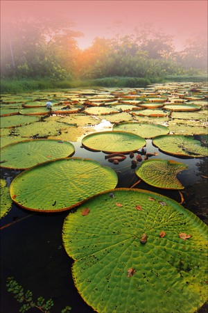 rio amazonas: Victoria Regia, el waterlilly de amazon, que es el waterlilly más grande del mundo