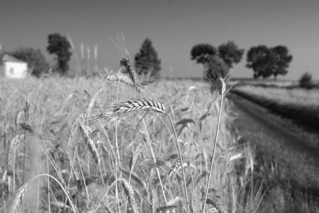 Ears of corn, grain and road photo