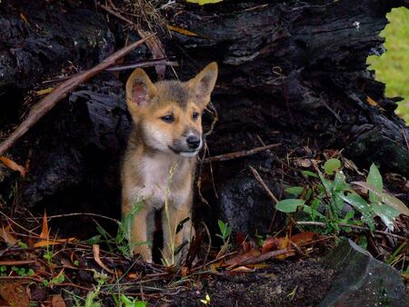 new south wales: A Dingo Pup in New South Wales, Australia