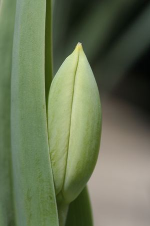 Tulip Blossom Peeking Out