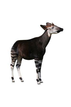 Rare Unusual Okapi Banco de Imagens