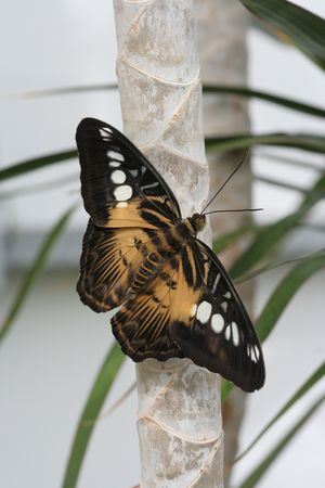 Brown Clipper Butterfly Resting On Plant