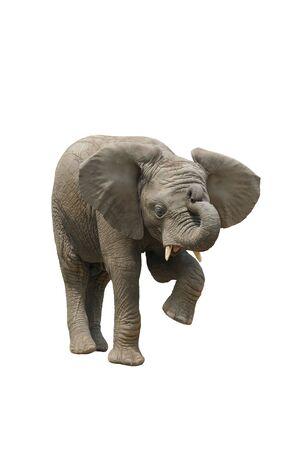 African Elephant Posing
