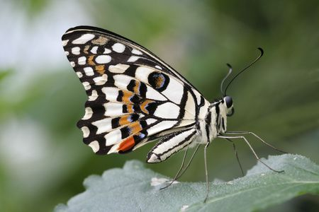 Checkered Swallowtail Butterfly Banco de Imagens - 504852