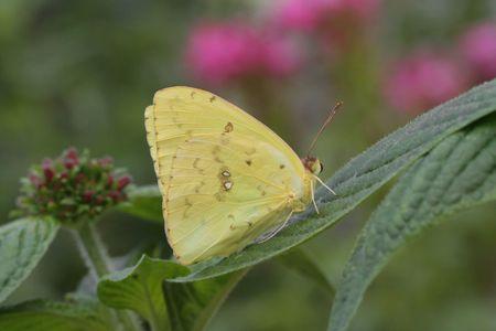 Cloudless Sulphur Butterfly