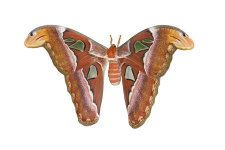 Atlas Moth Isolated On White