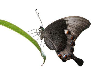 Swallowtail balancing on leaf