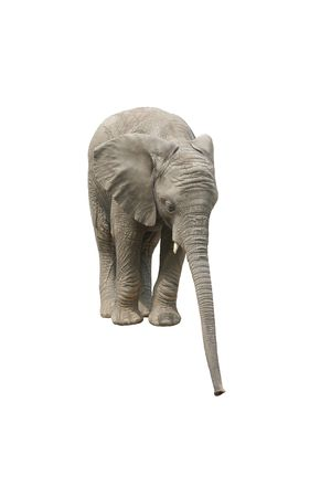 african elephant reaching with his trunk