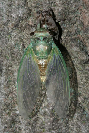 Newly hatched Cicada drying its wings