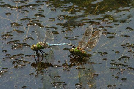 Mating Pair of Green Darner Dragonflies