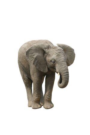 Young Male African Elephant Eating Banco de Imagens