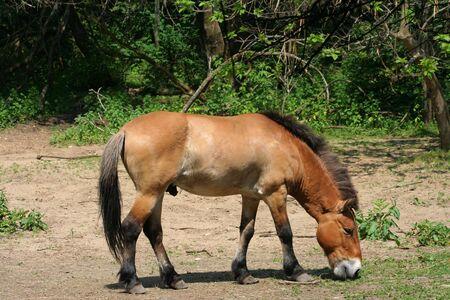 Przewalskis Mongolian Wild Horse Grazing. (Equus Caballus Przewalskii)