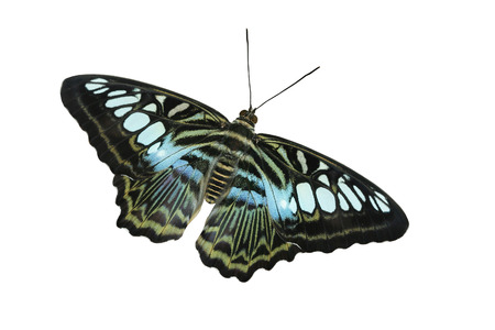 The Blue Clipper Butterfly (Parthenos Sylvia Violacae) is a native of Malaysia.  It is a large butterfly with a wingspan of 3 to 4 inches. Banco de Imagens