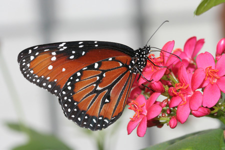 女王蝶 (ダナオス Gilippus) は、北および南アメリカにネイティブの蝶です。それは、モナーク蝶に関連します。