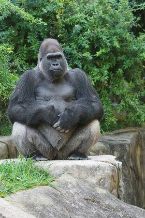 Male Western Lowland Gorilla Sitting On Rocky Ledge