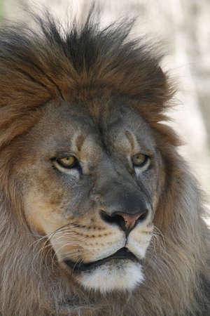 Close-up portrait of a male African Lion