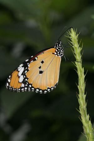 Plain Tiger Butterfly (Danaus Chrysippus) resting on plant