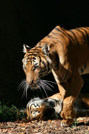 Indochinese or Corbetts Tiger stepping out of the shadows