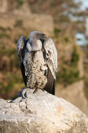 Ruppells Griffon Vulture (Gyps Rueppellii) sitting on boulder