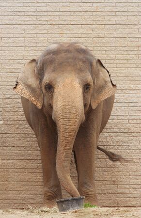 Asiatic Elephant standing in front of brick wall