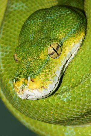 Close-up head shot of a Green Tree Python