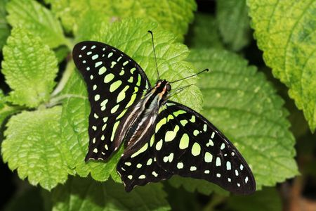 Tailed Jay Butterfly (Graphium Agememnon) resting on green leaves