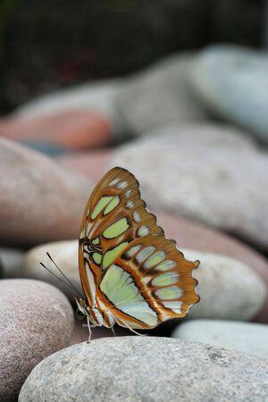Malachite Butterfly (Siproeta Stelenes) sitting on pile of rocks