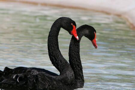 Pair of Black Swans (Cygnus Atratus) swimming in fountain