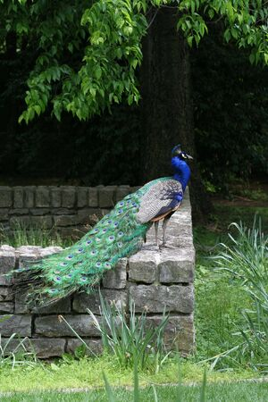 Male Peacock (Pavo Cristatus) sitting on brick wall