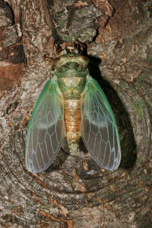Annual Cicada emerging from shell and drying wings
