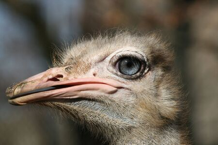Close-up view of a male Ostrich head