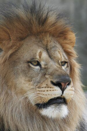 Close-up portrait of a male african lion  Banco de Imagens