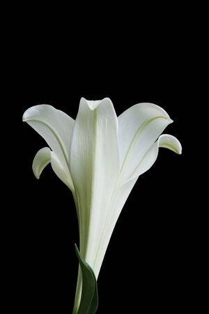 Side view of Easter Lily on black background Banco de Imagens
