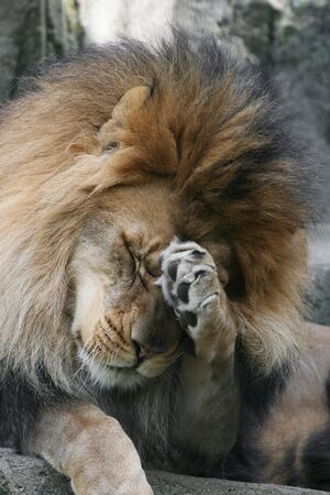 Adult Male African Lion acting shy or bashful Imagens