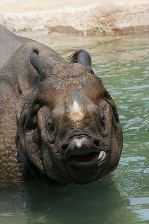 Indian Rhinoceros, (Rhinoceros unicornis) cooling off in pool of water Banco de Imagens