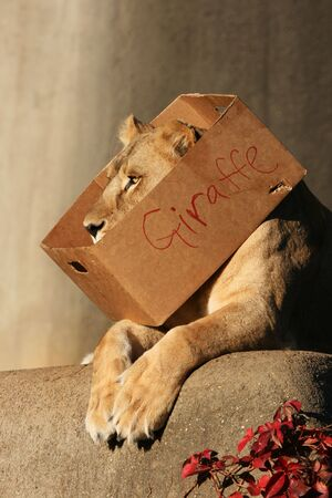 Lioness laying down with box around neck that says giraffe Banco de Imagens