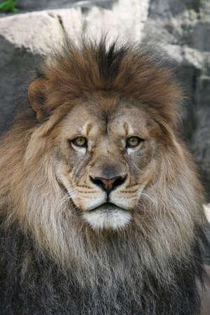 Intense stare of a male African Lion Banco de Imagens