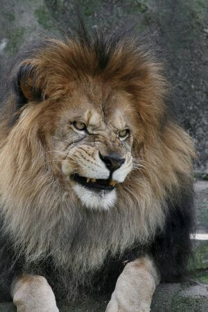 Male African Lion with an evil look on his face Banco de Imagens