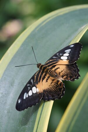 Brown Clipper Butterfly resting on leaves Banco de Imagens