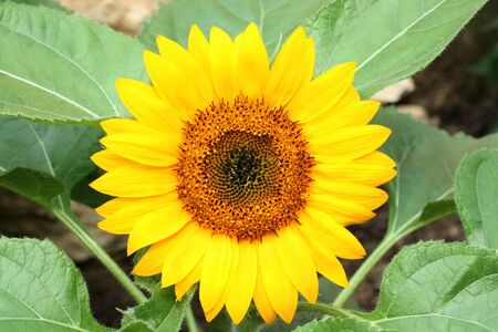 close up of a bright vibrant yellow sunflower