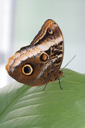Yellow-edged Giant Owl Butterfly sitting on tropical leaf